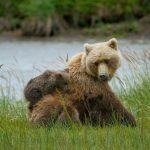 Caccia all'orsa in Trentino: chi è  davvero in pericolo?