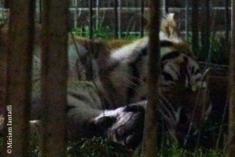 Il punto della tigre